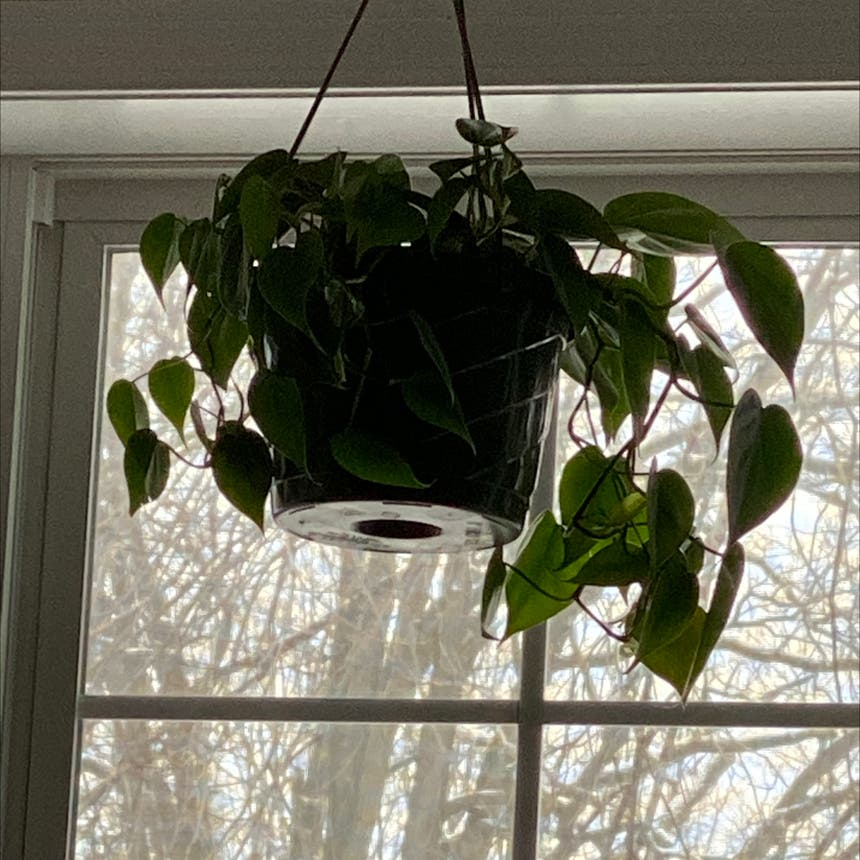 Heartleaf philodendron plant in Spring Arbor, Michigan