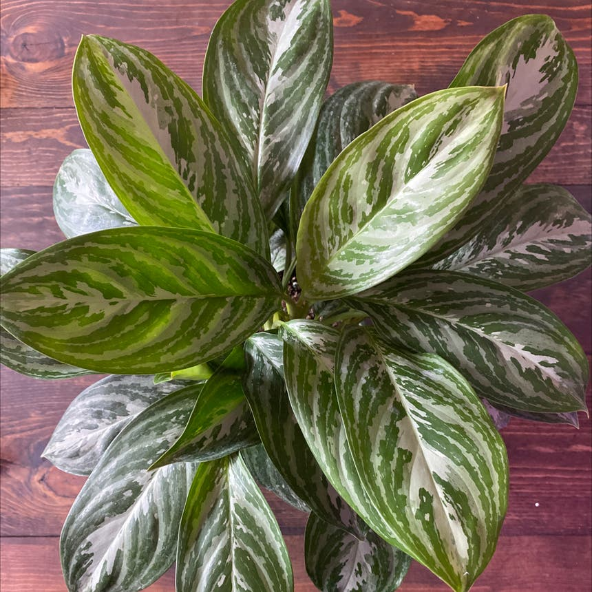 Chinese Evergreen plant in Spring Arbor, Michigan