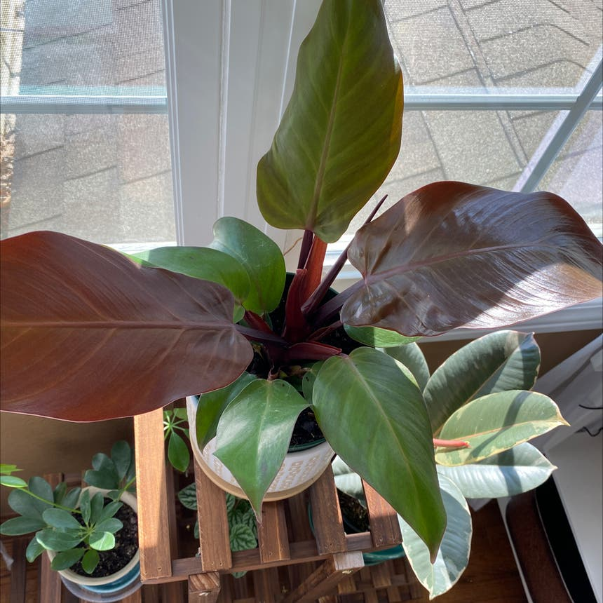 Philodendron 'Imperial Red' plant in Spring Arbor, Michigan