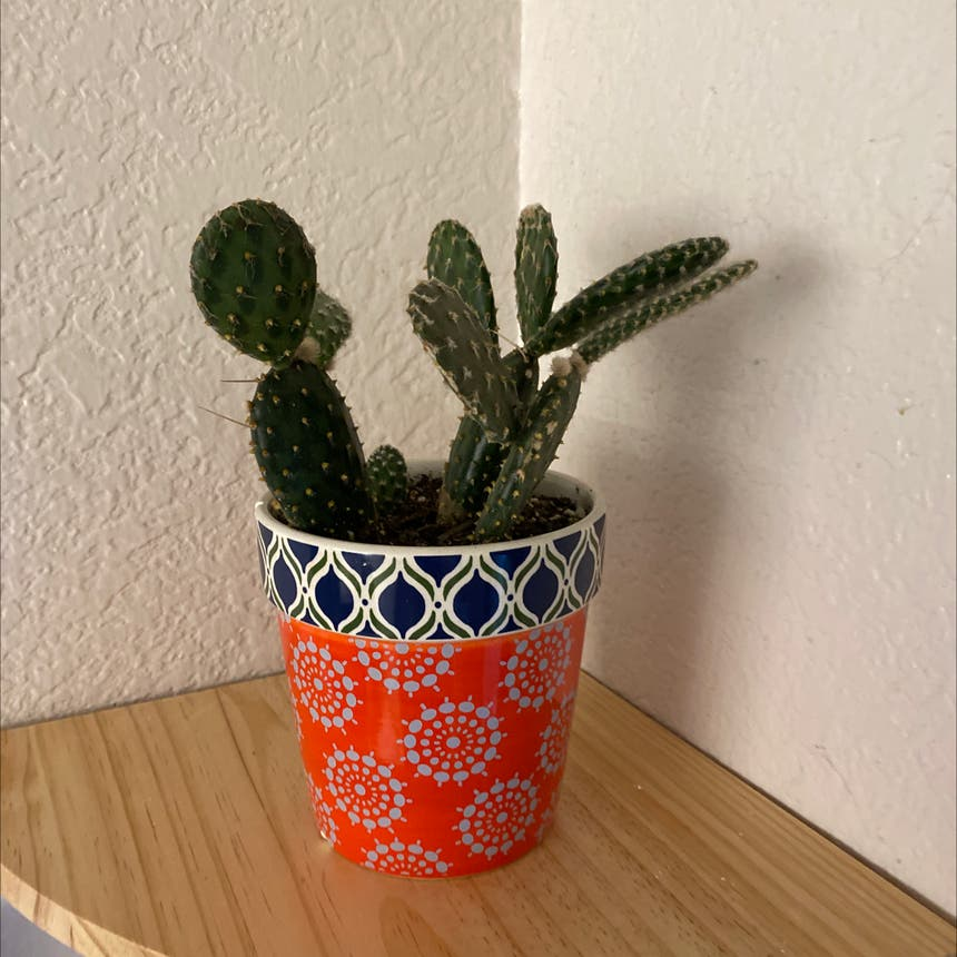 Prickly Pear Cactus plant in Spring Arbor, Michigan