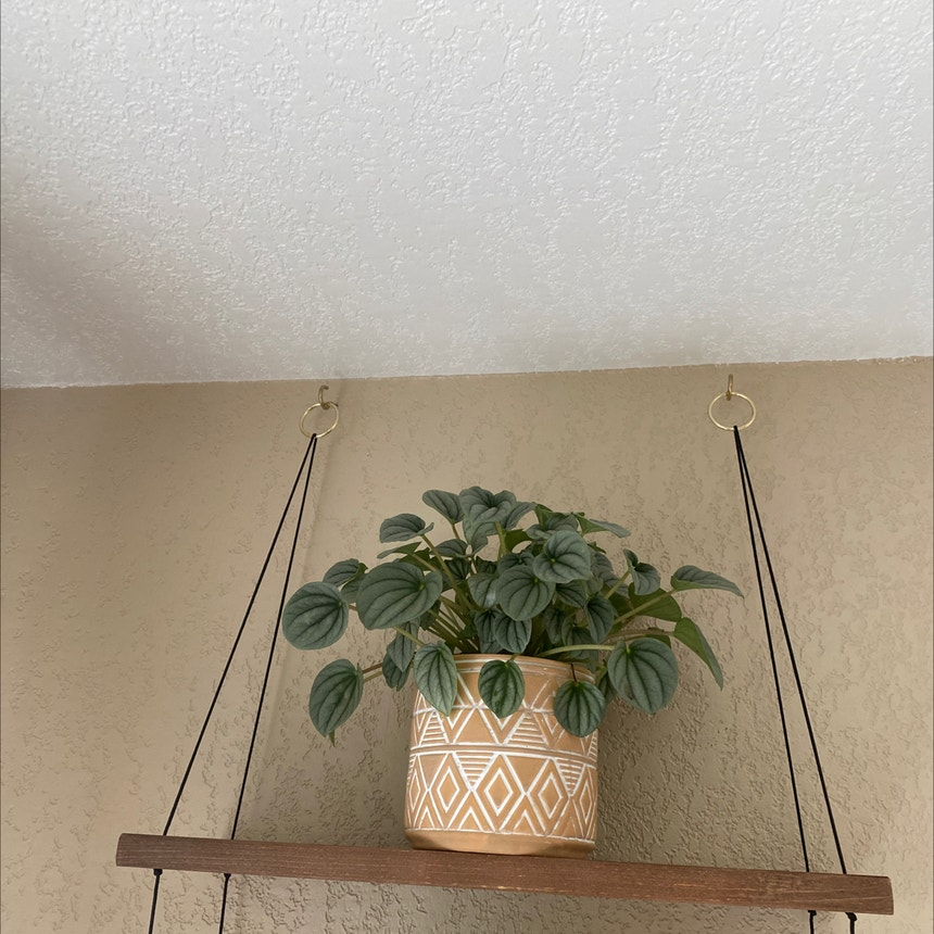 Silver Frost Peperomia plant in Spring Arbor, Michigan