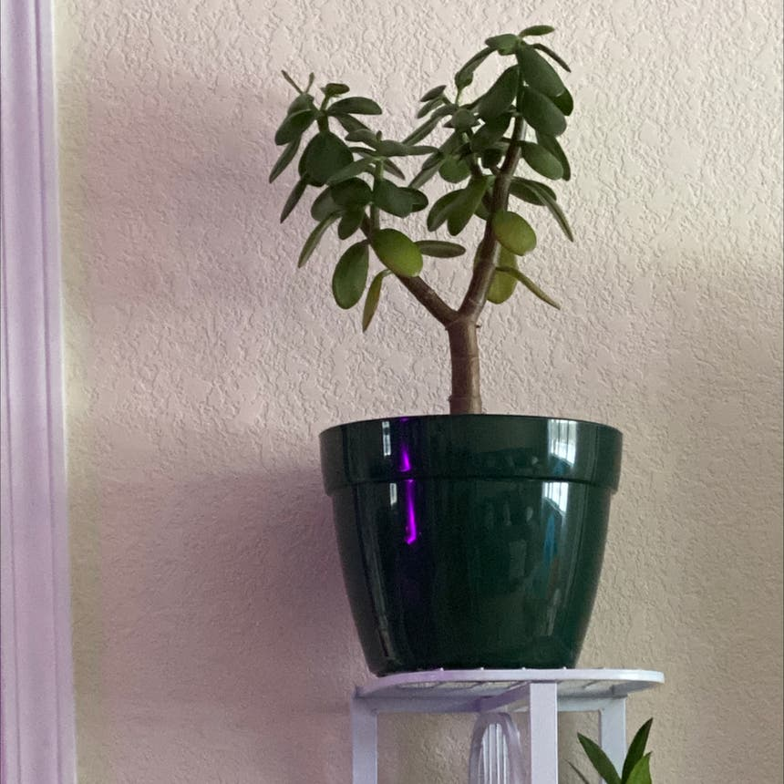 Jade plant in Spring Arbor, Michigan