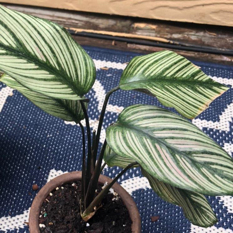 Goeppertia majestica plant in Duluth, Georgia
