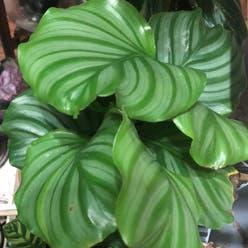 Round-leaf Calathea plant
