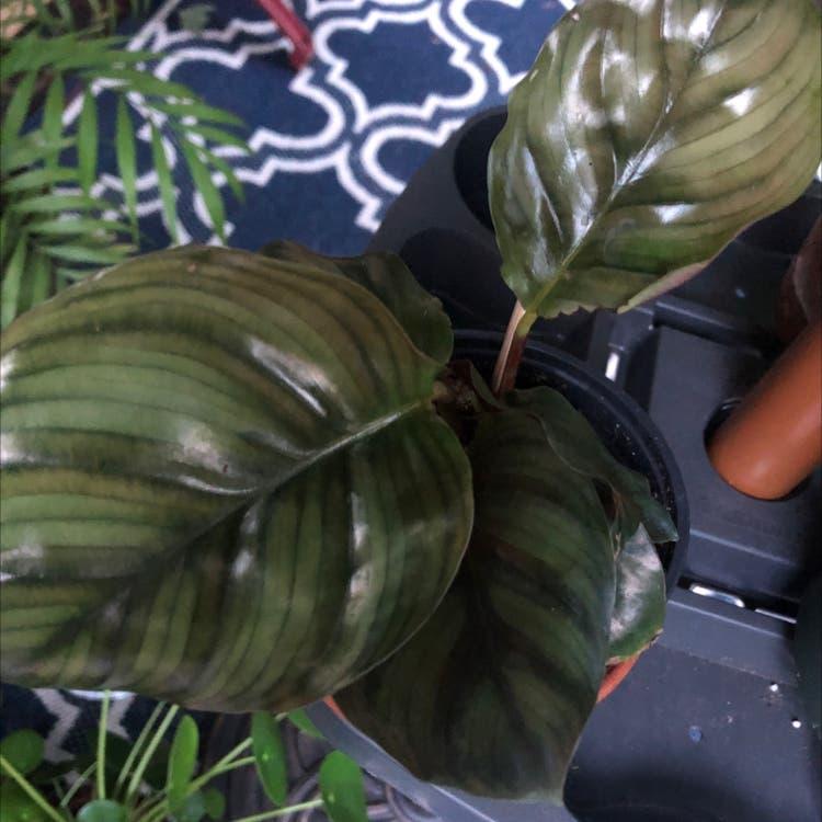 Round-leaf Calathea plant in Duluth, Georgia