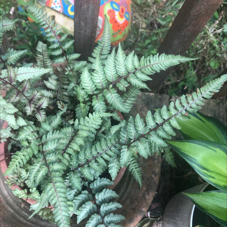 Japanese Painted Fern plant in Duluth, Georgia