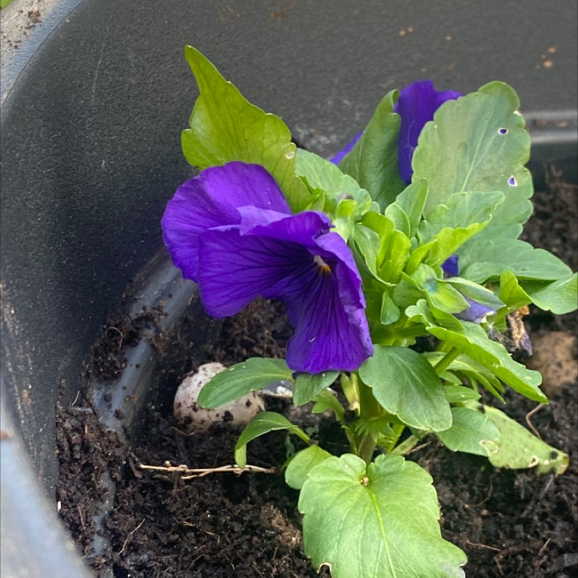 Wild pansy plant in Hereford, England