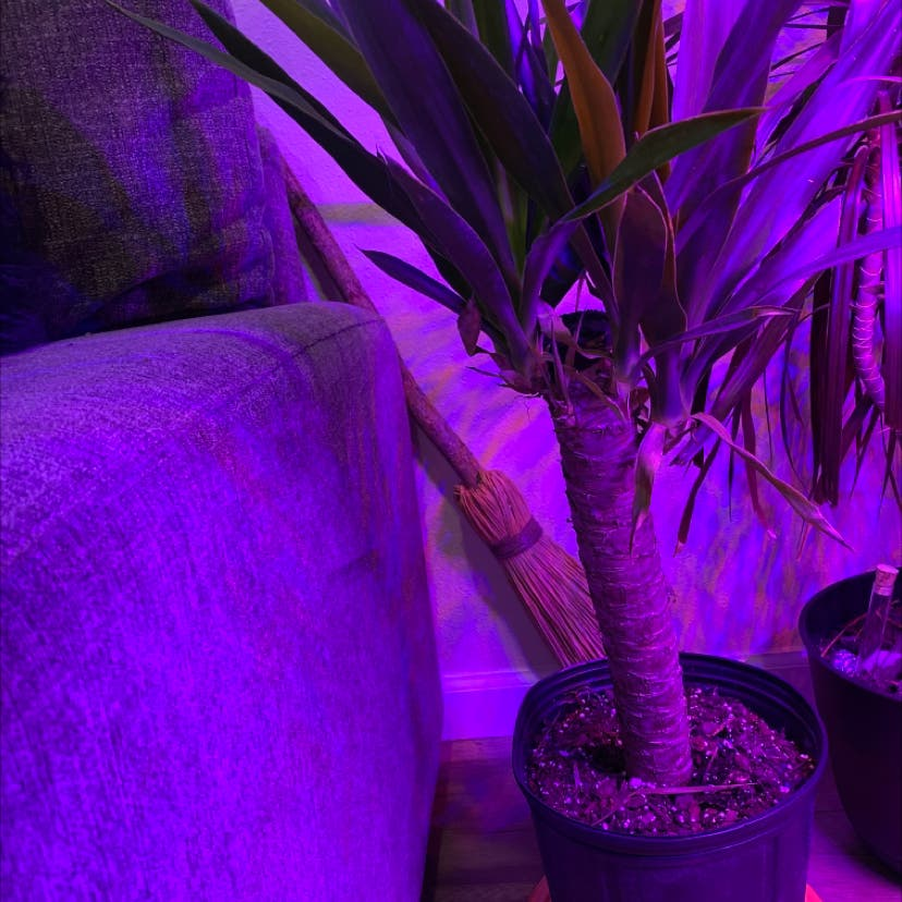 Spineless Yucca plant
