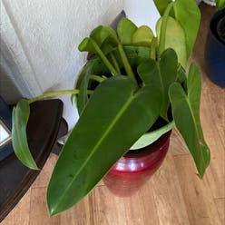 Fat boy plant