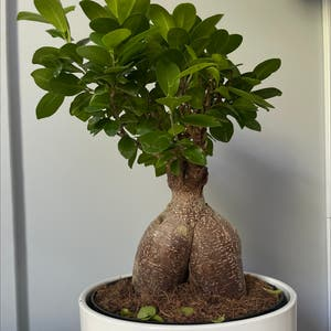 Ficus Ginseng plant photo by Laj551 named big booty judy on Greg, the plant care app.