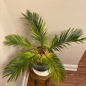 Sago Palm plant photo by Bubzanderson named Spike on Greg, the plant care app.