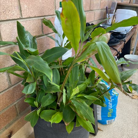 Photo of the plant species Green Cardamom by Illuminate_me named Cardamom on Greg, the plant care app