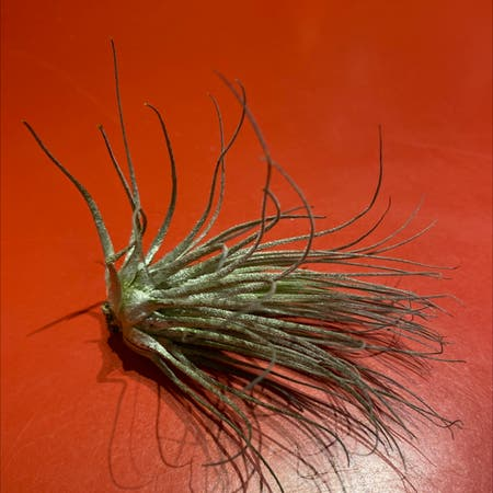 Photo of the plant species Tillandsia magnusiana Air Plant by Thomas named Magma on Greg, the plant care app