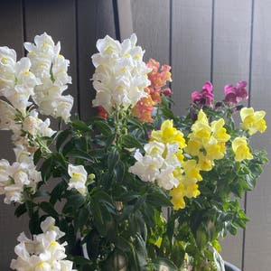 Common snapdragon plant photo by Oceansleeper named Creamsicle on Greg, the plant care app.