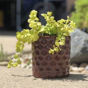 Creeping Jenny plant photo by Melxn named Jenny on Greg, the plant care app.