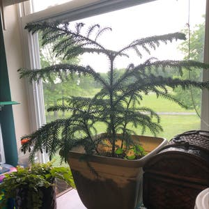 Norfolk Island Pine plant photo by Melxn named Sigmund on Greg, the plant care app.
