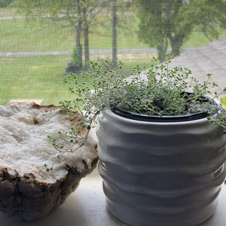 Photo of the plant species Woolly Thyme by Melxn named Wilson on Greg, the plant care app