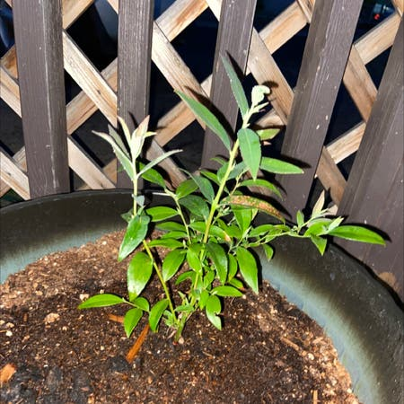 Photo of the plant species Pink Lemonade Blueberry by Katikat9714 named Pinkie on Greg, the plant care app