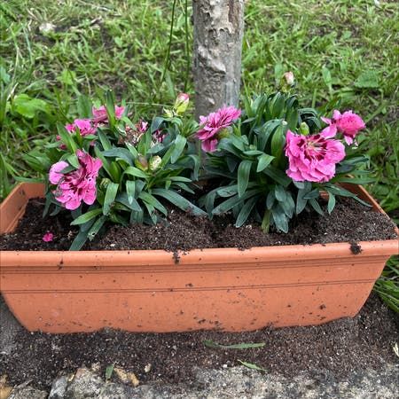 Photo of the plant species Chinese Pink by Cat named Mini Pinks on Greg, the plant care app