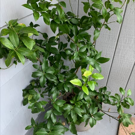 Photo of the plant species Key Lime Tree by Greenthumbyogikimg named Jimmy Buffet on Greg, the plant care app