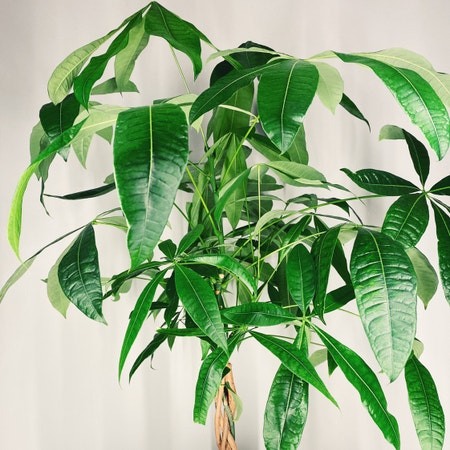 Photo of the plant species money plant by Linavalenz named Pachira Aquatica on Greg, the plant care app