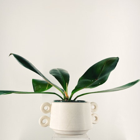 Photo of the plant species Linnaei Kunth by Linavalenz named Philodendron Linnaei on Greg, the plant care app