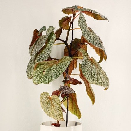 Photo of the plant species Angel Wing 'Argenteo-guttata' by Linavalenz named Begonia Sinbad on Greg, the plant care app