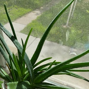 Rating of the plant Aloe vera named Zion by Diamondsnfurs on Greg, the plant care app