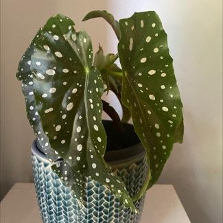 Polka Dot Begonia plant in McDowall, Queensland