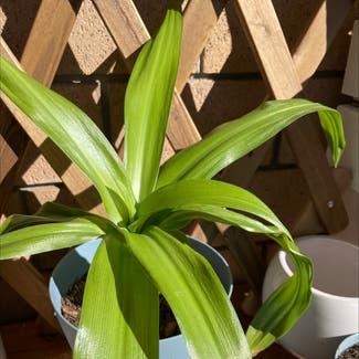 Basket Plant plant in McDowall, Queensland