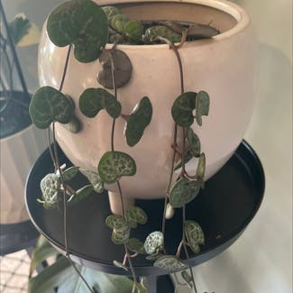 Variegated String of Hearts plant in McDowall, Queensland