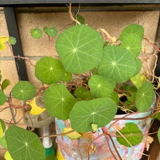 Garden nasturtium plant in McDowall, Queensland