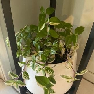 Lilac Tradescantia plant in McDowall, Queensland