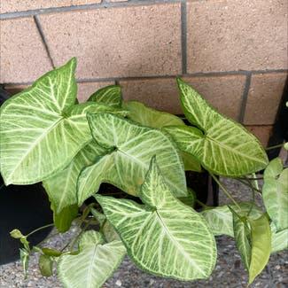 Arrowhead Plant plant in McDowall, Queensland