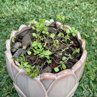 Common Purslane plant in McDowall, Queensland