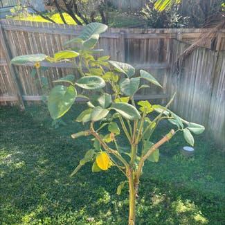 Hybrid Tea Rose plant in McDowall, Queensland