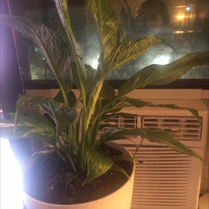 Variegated Peace Lily plant photo by Anakaren161 named Blanca lily on Greg, the plant care app.