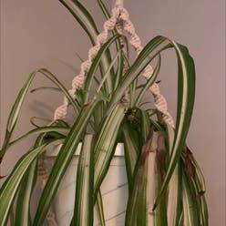 Spider Plant plant