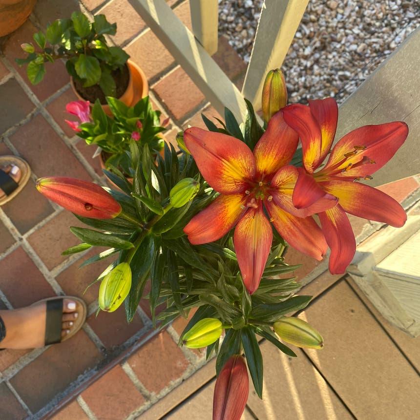 orange lily plant in Vallejo, California