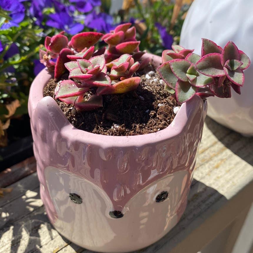 Crassula pellucida plant in Vallejo, California