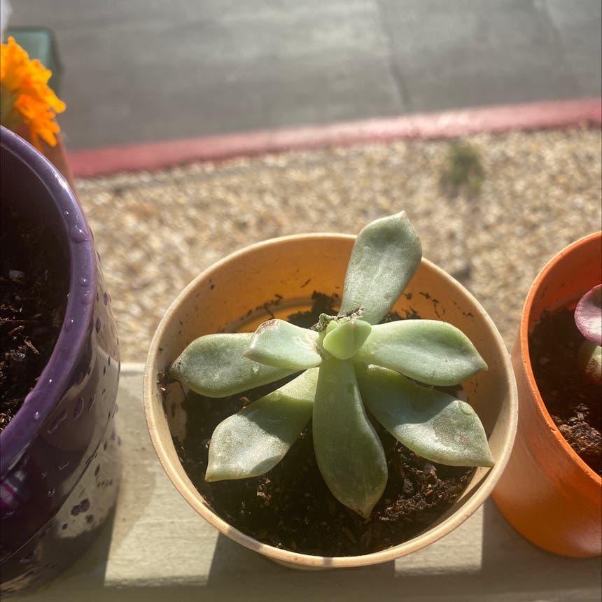 Pearl Echeveria plant in Vallejo, California