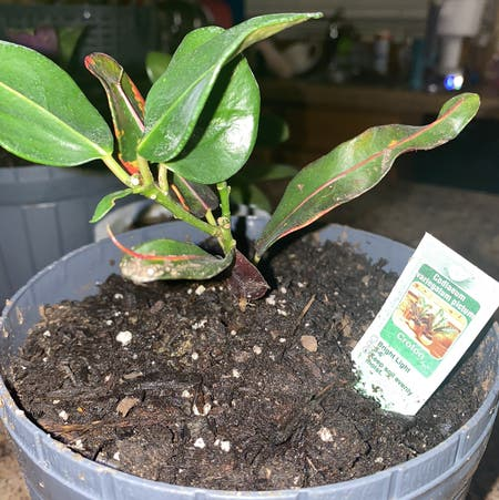 Photo of the plant species California croton by Ashinbyalex named Cruton on Greg, the plant care app