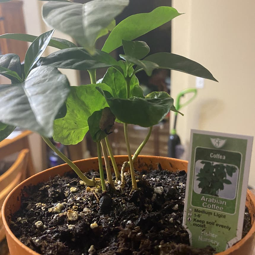 Arabian Coffee Plant plant in Vallejo, California