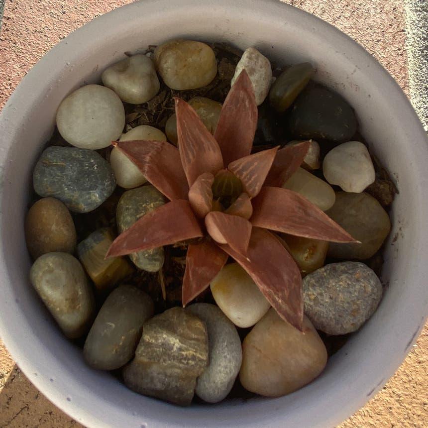 Star Cactus plant in Vallejo, California