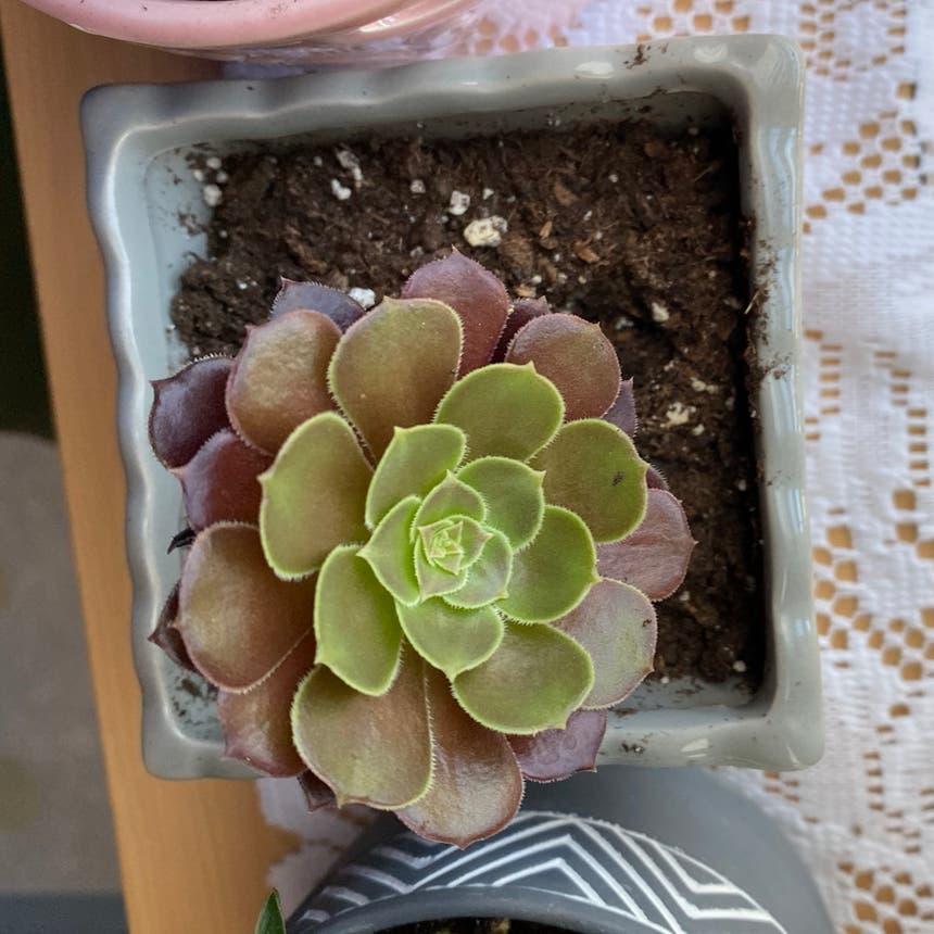 Tree Aeonium plant in Vallejo, California