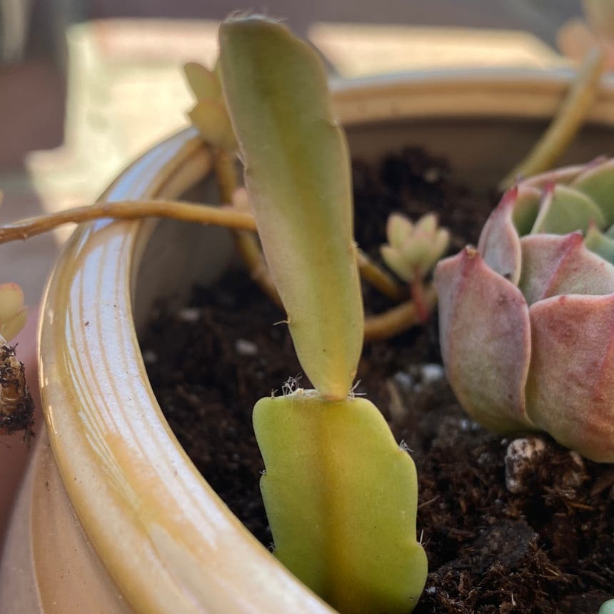 False Christmas Cactus plant in Vallejo, California