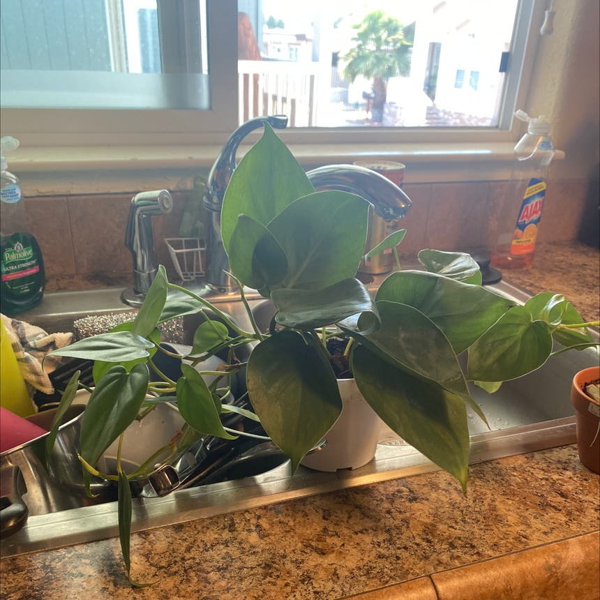 Heartleaf philodendron plant in Vallejo, California