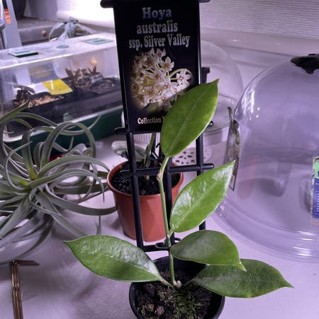 Photo of the plant species Hoya australis 'Silver Valley' by Nyssa named Your plant on Greg, the plant care app