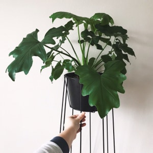 Philodendron 'Hope' plant photo by Arduemp named Atlas on Greg, the plant care app.