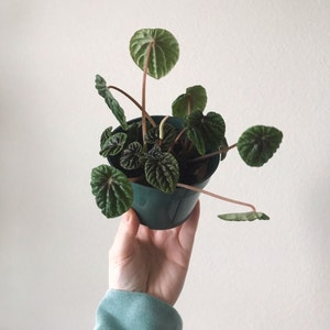Rating of the plant Emerald Ripple Peperomia named Stella by Arduemp on Greg, the plant care app